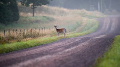 HFF Dawn meeting (jarnasen) Tags: d810 tamronsp150600mm telezoom handheld 150600mm dirtroad fog mist early hff perspective nature landscape nordiclandscape sverige sweden stergtland copyright jrnsen jarnasen grass fields scandinavia outdoor deer stjrnorp