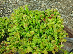 Dionaea muscipula (venus fly trap)-tissue culture clone from the 1990's (meizzwang) Tags: damon collingsworth dionaea muscipula california carnivores competition big bowl flytraps pot lots plants carnivorous insect eating