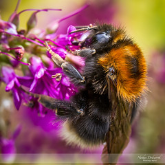 Dining Out I (Nathan Dodsworth Photography) Tags: bee species flowers nectar pollen colour food gathering workers insects wildlife entomology light macro detail life