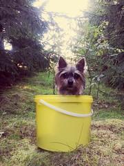 Boletus edulis ? (monixkork) Tags: nature natura dogs pies samsungs3 pupy forest las polska polacyfotografujacy polskilas light swiatlo colors kolory
