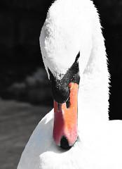 Portrait of a swan (Lala89_Photos) Tags: swan schwan swans schwne vogel wasservogel bird birds vgel weis white animal tier closeup portrait proud pride stolz