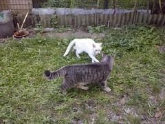 Fighting cats!!! (Bruno Vigan) Tags: cat cats gatto gatti feline fightingcats animals animali lge460 lgphone cellphone fotodacellulare telefonocellulare