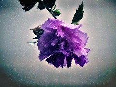 sweet Summer rain (Lana Pahl / Country Star Images) Tags: catchycolors raindrops summer color flowerswithraindrops
