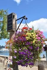 Hanging basket - Sausalito  -  EXPLORE (8-27-2016) (stevelamb007) Tags: california sausalito flowers basket park stevelamb nikon d7200 nikkor18200mm yeetokcheepark explore