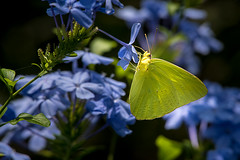 Yellow Butterfly on Blue Flowers - 082816-135456 (Glenn Anderson.) Tags: butterfly insect wings antenna proboscis flower outdoors nature flight nectar weed nikon sigma wind breezy outside animal plant macro depthoffield