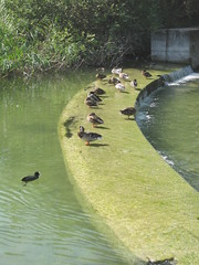 Damm zwischen Greifensee und Glatt (DanTheCam) Tags: greifensee enten ente damm dam