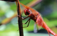 Libellule (TJ Gehling) Tags: insect odonata dragonfly anisoptera libellulidae skimmer flameskimmer libellula libellulasaturata canyontrailpark elcerrito