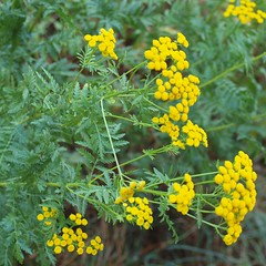 Tanacetum vulgare L. - Tansy (Peter M Greenwood) Tags: tanacetumvulgare tanacetum vulgare tansy