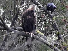 Stop annoying me! (jeaniephelan) Tags: bird birdofprey tasmanianbird australianbird wedgetaileagle raven