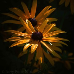 Morning glow (Barry Potter (EdenMedia)) Tags: barrypotter edenmedia nikon d7200 rudbeckia