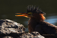 The Rock Star !!! (Photography by Ramin) Tags: green heron back lite feather beauty bird beautyoffeather wildbirds wildlife wild ottawa river water waking west canada rocks morning light ngc
