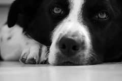 Chien Noir et Blanc (ghr.photographies) Tags: dog chien chat cat animaux animals nb pet domestiques bw mignon cute family