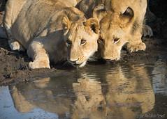 Two thirsty lions (Sue MacCallum-Stewart) Tags: kenya lion bigcat cat wildlife nature drinking maasaimara africa