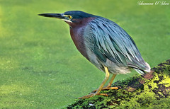 Business in the front, party in the back. (Shannon Rose O'Shea) Tags: shannonroseoshea shannonosheawildlifephotography shannonoshea greenheron heron bird birdyfeet beak feathers green duckweed canal wildwoodlake harrisburg pennsylvania wildlife nature waterfowl yelloweye yellowfeet flickr wwwflickrcomphotosshannonroseoshea outdoors log canon canoneosrebelt6i canon100400mm14556lis canont6i canoneost6i canonrebelt6i eosrebelt6i eost6i rebelt6i t6i businessinthefrontpartyintheback colorful wow
