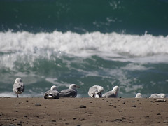 Seagulls (Home Land & Sea) Tags: newzealand seagulls beach waves zoom nz sonycybershot hawkesbay homelandsea aropaoanui dschx100v