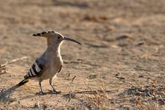 Hoopoe (Poorna Kedar) Tags: lighting wood india bird birds fur evening back asia bangalore birding beak feathers ground sharp crisp crown rim hoopoe pecker insectivorous hesaraghatta