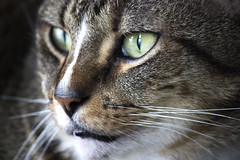 Hunter (DFChurch) Tags: macro cat eyes feline tabby whisker stare hunter