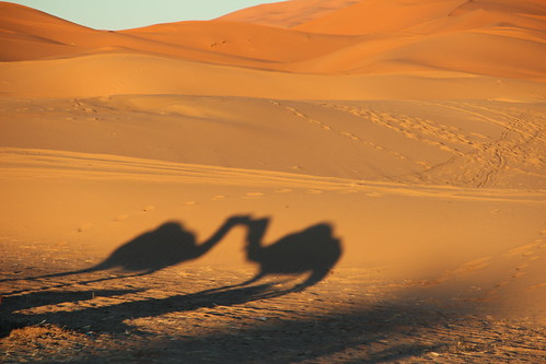 Camel love at sunset