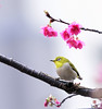 F_DSC1961-綠繡眼-Zosterops japonica-Japanese White-eye-櫻花-Cherry Blossom-羽-Feather-翼-Wings-台北市-Taipei City-台灣-Taiwan-中華民國-Rep of China-Nikon D800E-Nikkor 70-200mm-May Lee 廖藹淳 (May-margy) Tags: wings feather taiwan cherryblossom 台灣 japanesewhiteeye taipeicity 櫻花 台北市 中華民國 羽 翼 zosteropsjaponica 綠繡眼 nikkor70200mm repofchina maymargy nikond800e maylee廖藹淳