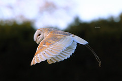 Owl II - Explored #98 (Hipwell Photography) Tags: autumn bird canon flying bokeh depthoffield 7d owl panning barnowl warwickcastle
