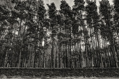 Tall Trees Behind A Wall (Michael Rozycki) Tags: park trees white black tree brick stone wall pine leicestershire tall behind straight parallel bradgate
