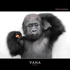 VANA (Matthias Besant) Tags: baby animal animals mammal deutschland monkey tiere hessen gorilla ape monkeys mammals apes fell tier affen primates affe babygorilla primat jungtier gorillababy hominidae primaten querformat saeugetier saeugetiere menschenaffen hominoidea trockennasenaffe menschenartige mygearandme photographyforrecreation affenfell menschenartig affenblick matthiasbesantphotography matthiasbesant