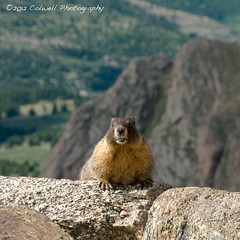Marmot Posing (Colwell Photography) Tags: vacation portrait mountain animal rock closeup rodent colorado mt wildlife teeth alpine environment marmot habitat summervacation groundsquirrel mountevans mtevans wildlifephotography marmotacaligata highlydetailed alpinewildlife colwellphotography