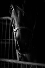 waiting (Jen MacNeill) Tags: light shadow blackandwhite horse white black animal barn gate stall stable thoroughbred equine sidelight gypsymarestudios jennifermacneilltraylor jmacneilltraylor