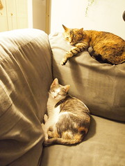 Snoozin Sisters (Raccoon Photo) Tags: friends cats playing cute eye cat fur fun nose paw eyes furry friend funny play gorgeous kitty ears pals whiskers catnap lazy claw whisker ear kitties friendly acrobat sniff noses paws cuteness acrobats pal cuties cateyes claws catears perkyears catfamily