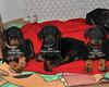 The puppies settle down for their mid-day nap (Adalmar Dobermans) Tags: puppy doberman dobie pinscher akc centralflorida dobermanpinscher westcentralflorida dobermanpuppy dobiepuppy akcpuppies dobermanpuppies dobiepuppies akcdoberman dobermanbreeders akcpuppy adalmardobermans adalmar adalmardobies adalmardoberman