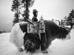 rider (nandadevieast) Tags: yak india snow shimla olympus omd kufri fagu panasoniclumix14mmf25 lumix14mmf25 olympusomd olympusem5 olympusomdem5