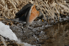 Robin_42893.jpg (Mully410 * Images) Tags: winter snow cold bird ice robin birds birding cattails birdsinflight birdwatching americanrobin birder tcaap ahats burdr ardenhillsarmytrainingsite
