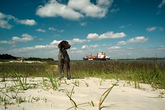 I started Early  Took my Dog  And visited the Sea  (MilkaWay) Tags: beach grass river sand ship shoreline birddog cargo shore tessa savannah atlanticocean gsp germanshorthairedpointer savannahriver 4yearsold hapaglloyd chathamcounty cargoship inbound coastalgeorgia thelittledoglaughed