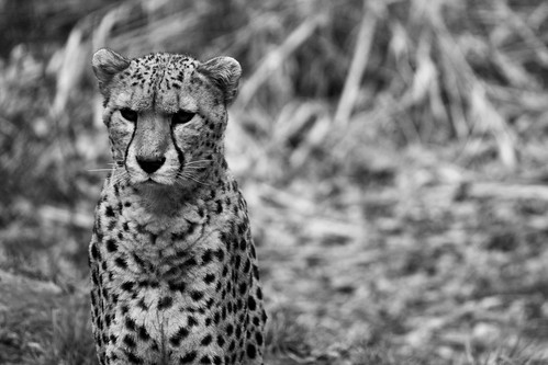 Cheetah, Chester Zoo
