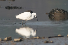 untitled-1727.jpg (Tim Geary) Tags: bird nikon lough little birding egret d800 larne islandmagee digiscope ballycarry