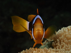 Clark's Anemonefish (Amphiprion clarkii) (Marcel Waldis Underwater Photography) Tags: sea portrait holiday fish macro eye nature water animal thailand island fly flying photo underwater phiphi dynamic air natur deep diving olympus adventure anemone fotos micro scubadiving 60mm activity phuket makro kohphiphi f28 krabi underwaterworld omd andaman andamansea underwaterphotography portraitphotography mft amphiprionclarkii clarksanemonefish fourthirds 60mmf28 em5 adamansea seaandsea photographyx 60mmf28macrolens 43x micro43 microfourthirds clarksanemonefishamphiprionclarkii nauticam divingx omd5 seasea110a sailrockdiver seaandsea110a olympusomdem5 omdem5 solaphoto1200 nauticamnaem5 olympus60mmf28macrolens marcelwaldis portraitphotographyolympusomdem5