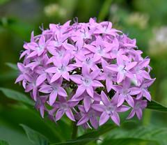 DSC_0021 (RUMTIME) Tags: flower nature queensland coochiemudlo amazingdetails silveramazingdetail goldamazingdetails platinumamazingdetail