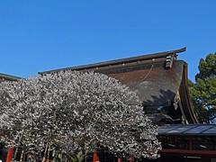 White Plum Blossoms and Dazaifu Tenmangu (Rekishi no Tabi) Tags: fukuoka shinto kyushu hakata dazaifutenmangushrine umeblossoms sugawaramichizane shintoshrines tenjinsama whiteplumblossoms