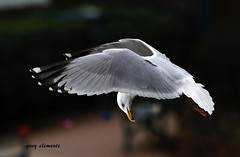"make my day.!!.   ""drop your chips"" ("" yer tis my ansome "") Tags: sea nature birds canon seaside wings seagull gull gulls watching flight beak drop chips scan devon birdsinflight common bing seabirds waterbirds hovering dawlish lserieslenses makemyday dawlishdevon canon300mmf28lisusm sniper01 mygearandme mygearandmepremium flickrgrayclements canon14mk111tc"