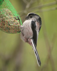 Msange  longue queue - Long-tailed tit- Aegithalos caudatus (Cokebuster) Tags: bird tit oiseau longtail msange aegithalos caudatus longuequeue nimy uploaded:by=flickrmobile flickriosapp:filter=nofilter
