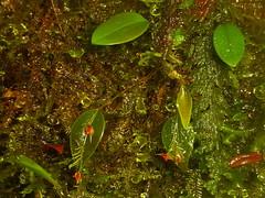 Lepanthes zygion? (Ecuador Megadiverso) Tags: lepanthessp loscedros orchid ecuador flower blume fleur flor orchidee orchidea equateur orquídea équateur southamerica südamerika nature natur naturaleza macro neotropics neotropical orchidaceae orchideen orchids orchidée orquídeas flowers blumen fleurs equador biodiversity wildlife flora taxonomy:family=orchidaceae taxonomy:genus=lepanthes makro biodiversidad andreaskay reservaloscedros