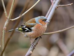 Chaffinch - Nikon D7100 (Osgoldcross Photography) Tags: tree bird nikon raw branch beak feathers twig avian chaffinch rspb sigma150500mm rspboldmoor nikond7100