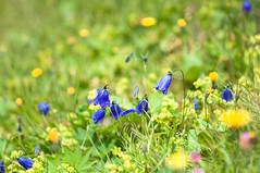 Campanule commune des Alpes (JMx) Tags: serrechevalier ucpa bellflower campanule