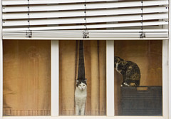 'Two heads are better than one ... ' (Canadapt) Tags: cats selfportrait portugal window curtain sintra blinds canadapt