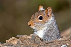 Eastern Gray Squirrel (Brian E Kushner) Tags: animals newjersey backyard nikon squirrel wildlife afs d800 audubon sciuruscarolinensis easterngraysquirrel 80400 f4556 backyardanimals vrii nikond800 audubonnj bkushner brianekushner nikon80400mmf4556gedvrafs