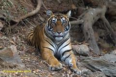 Tiger, Panthera tigris,  T39, female (Graham Ekins) Tags: india female mammal cub wildlife tiger sultan rajasthan carnivore pantheratigris t39 isaf sawaimadhopur canon400mmf4 canon1dmkiv grahamekins ranthambhorereserve pugmarkslodge ah9k0544