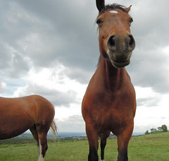One & a Half Horses (SheffieldStar) Tags: uk horse abstract sheffield attention headon fulwood twohorses silentfoto lookdownnose