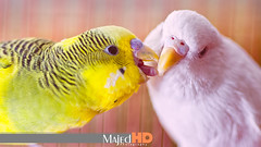 O love birds l    (MajedHD) Tags: white bird love birds yellow parrot parrots        photographyforrecreation