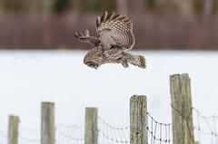 Stealth (Bryan O'Toole) Tags: ontario canada bird field gg nikon wildlife greatgreyowl owl posts saultstemarie northernontario algoma greatgrey ggo stjosephisland nikond7000 nikonafs300mmf28vr