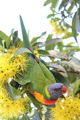 Birds, Bee's and Beaker (MudMapImages) Tags: tree bird lorikeet australia yellowflower bee nsw midair goldenpenda midnorthcoast